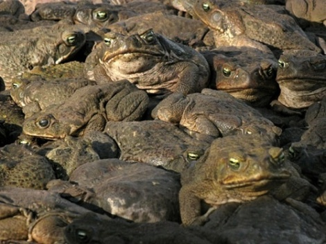 lots of toads