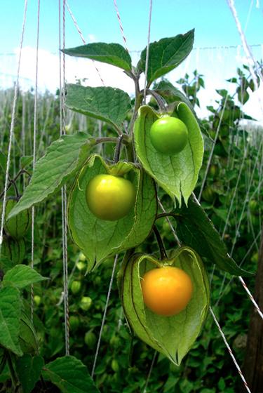 inca-berries growing on bush