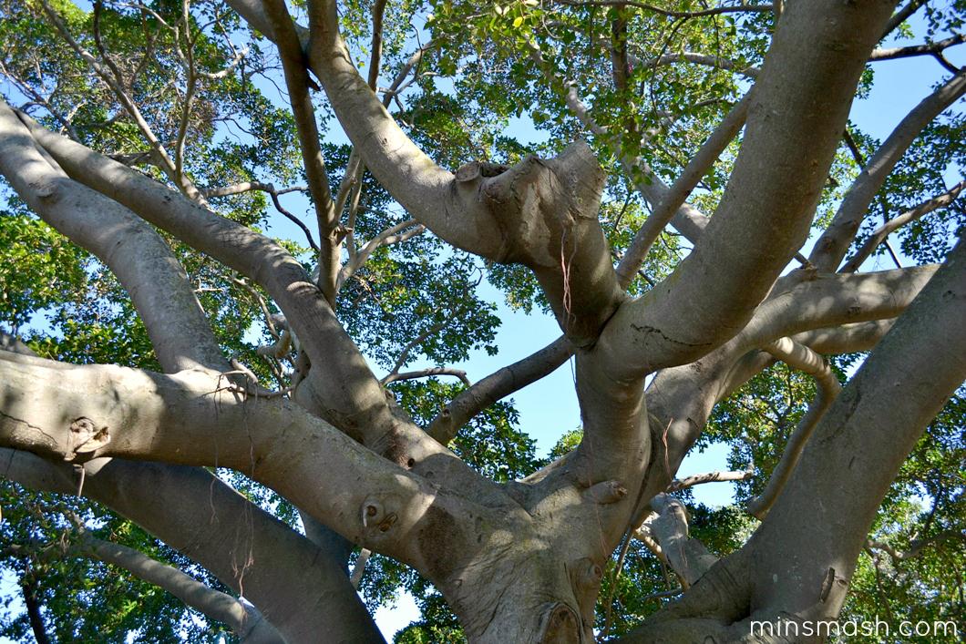 tree, shade tree