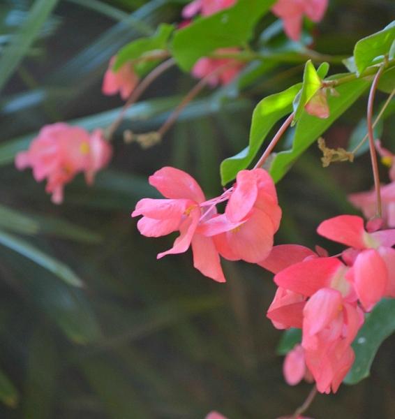 flowers, begonia