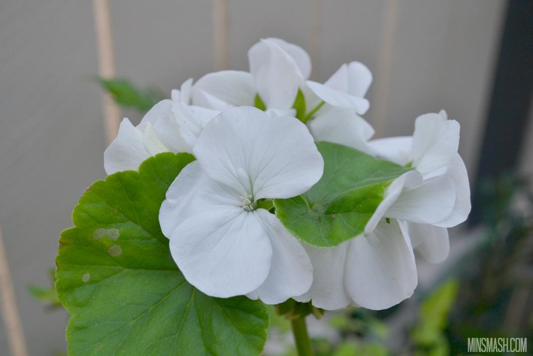 white geraniums, flowers, white flowers, geraniums