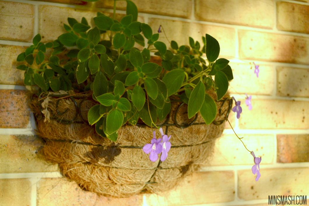 hanging basket, plant, violets