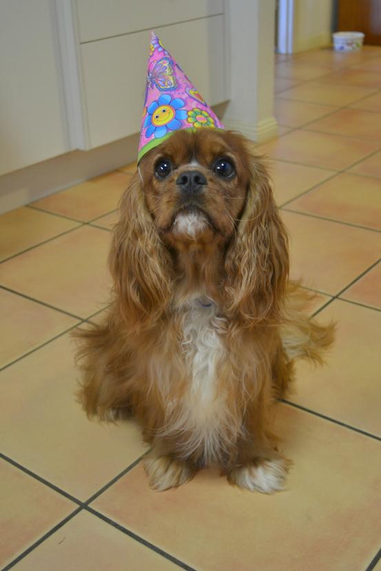 Cavalier King Charles Spaniel, Dog, 1st Birthday