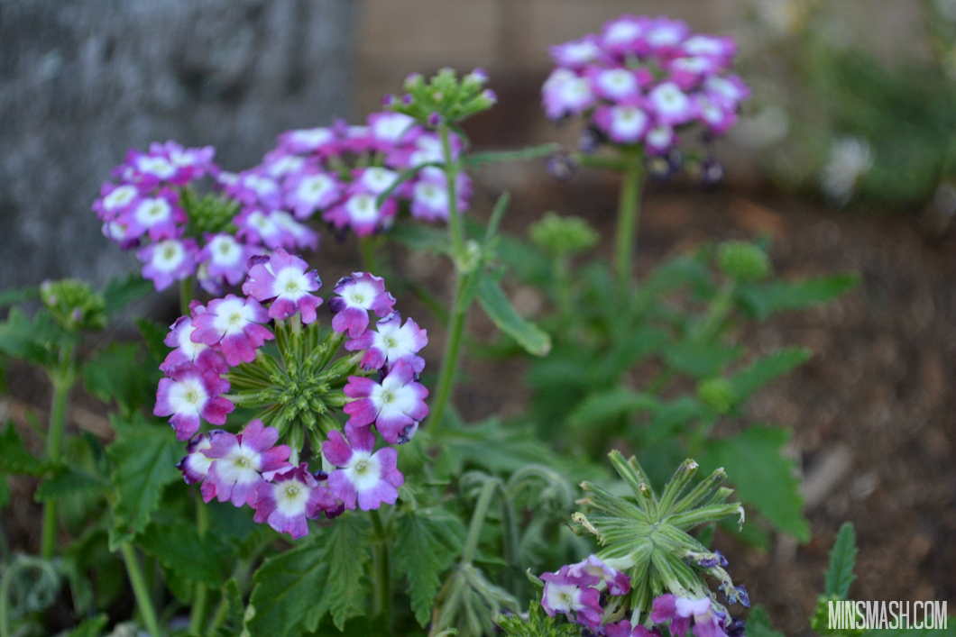 Verbena flowers, pink, purple