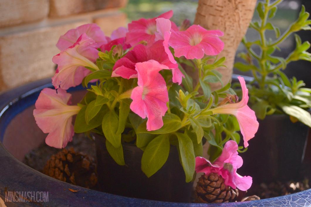 Petunias, pink, flowers