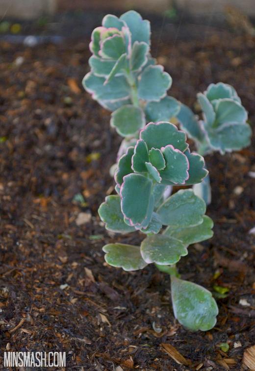 succulent, plant
