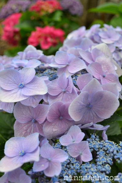 Hydrangeas, Flowers