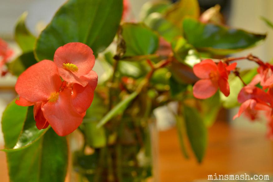begonia, flowers, begonias