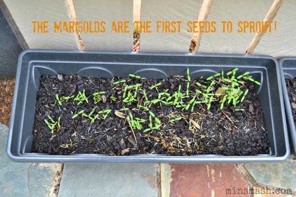 seedlings, marigolds