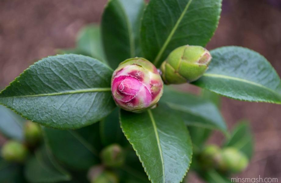 flower bud, camellia