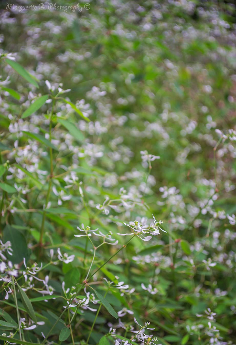 garden, white flowers