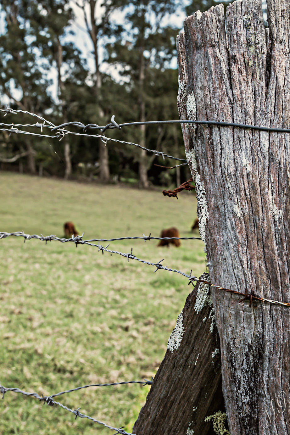 country fence, barbed wire, cattle