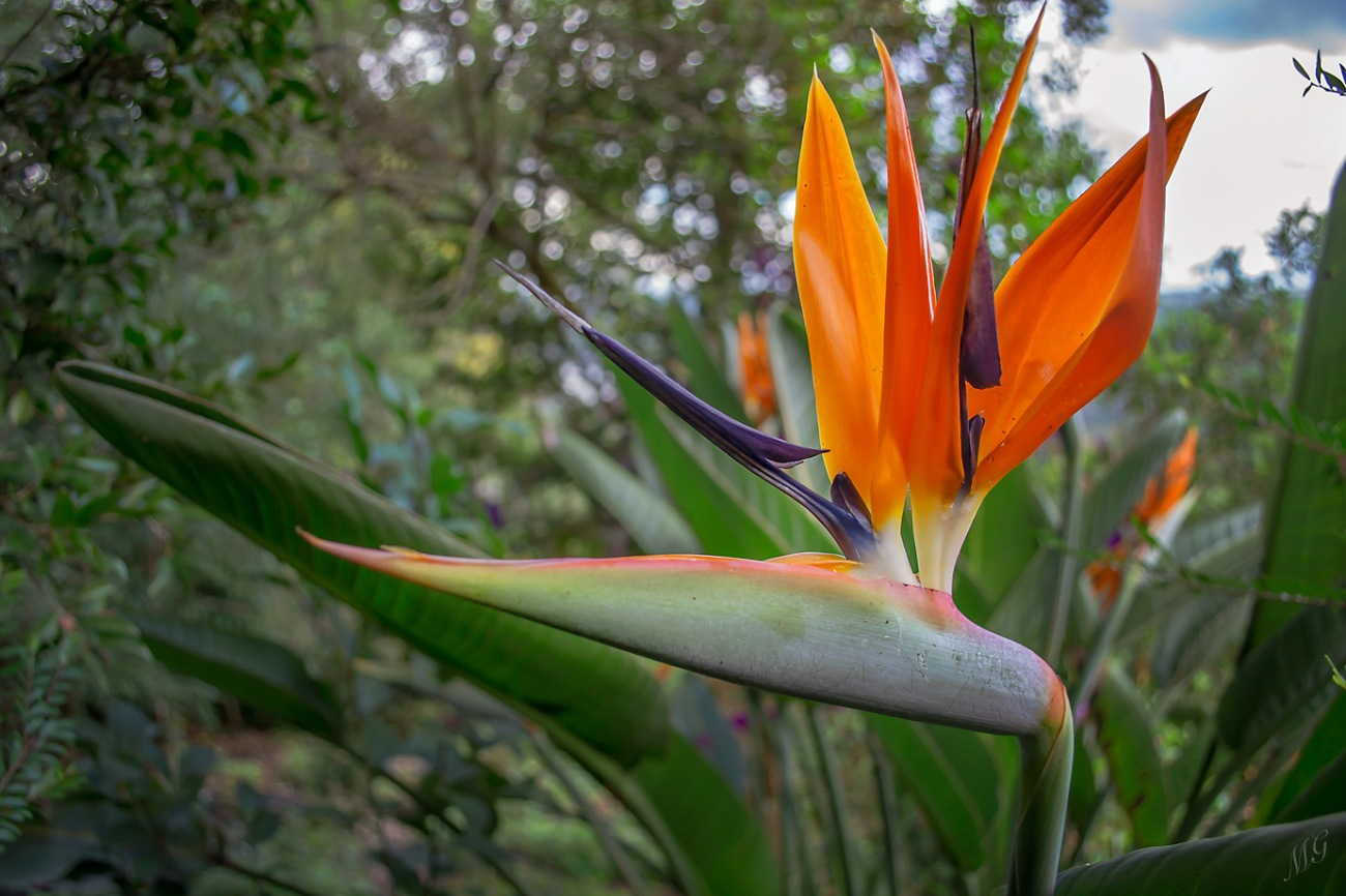 Bird of Paradise, Strelitzia