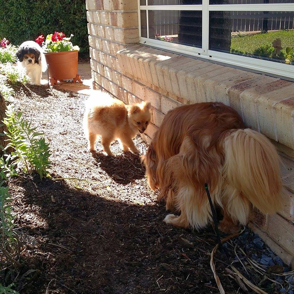 cavalier king charles spaniels and a pomeranian
