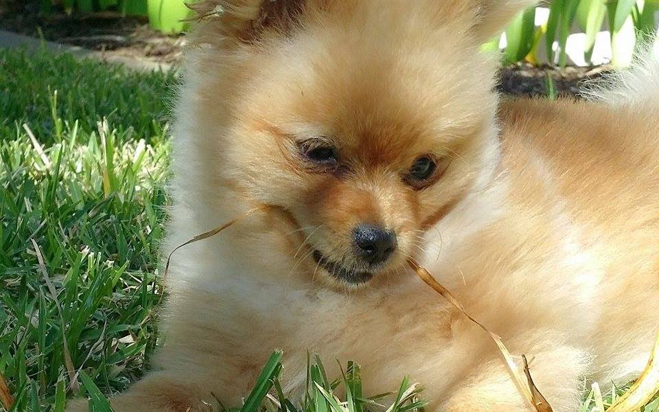 pomeranian, dog, puppy