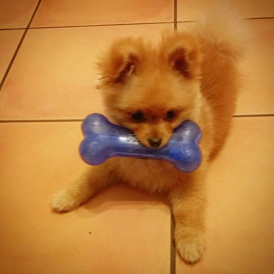 pomeranian with a toy