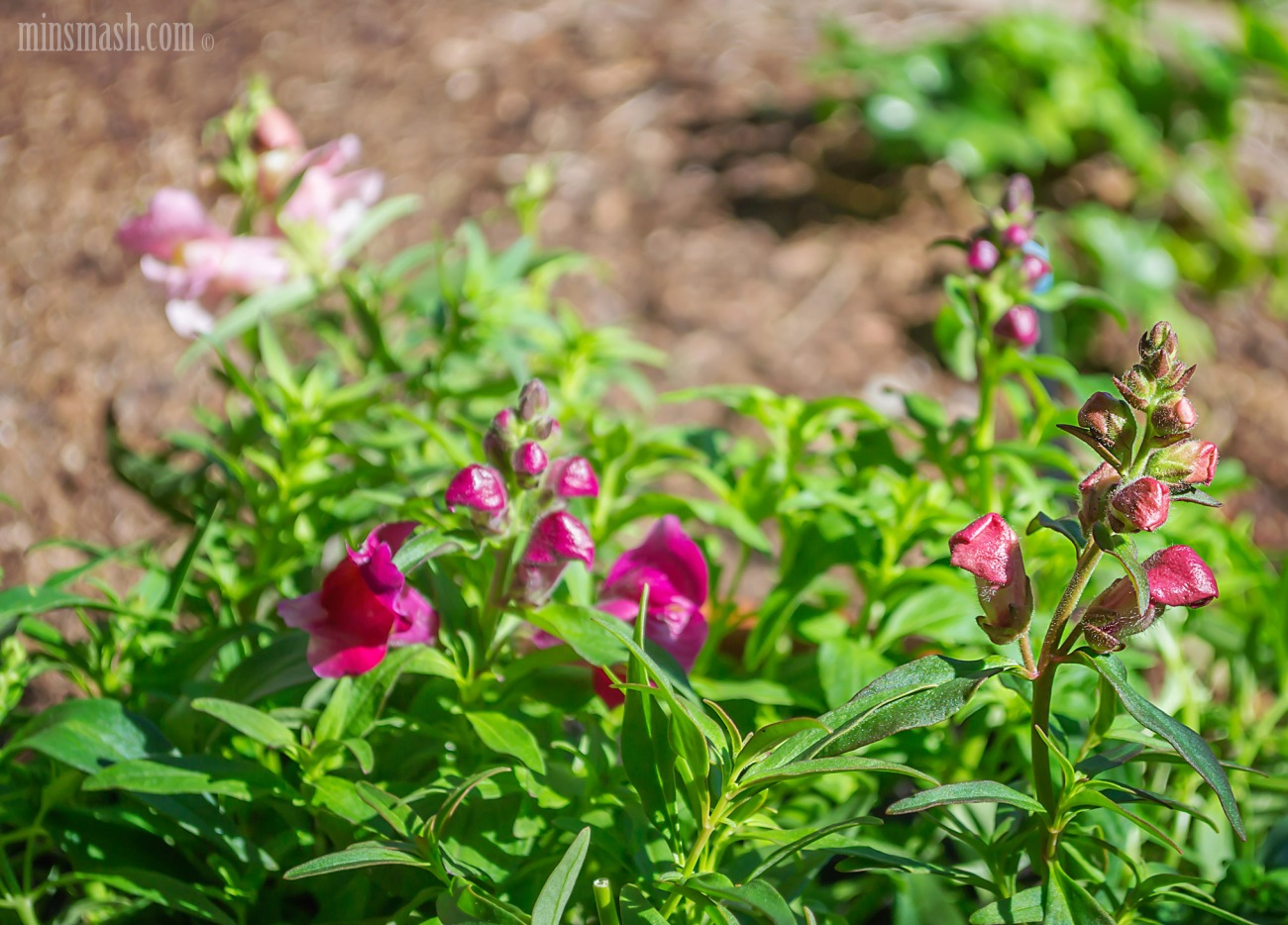 garden, pots, snapdragons