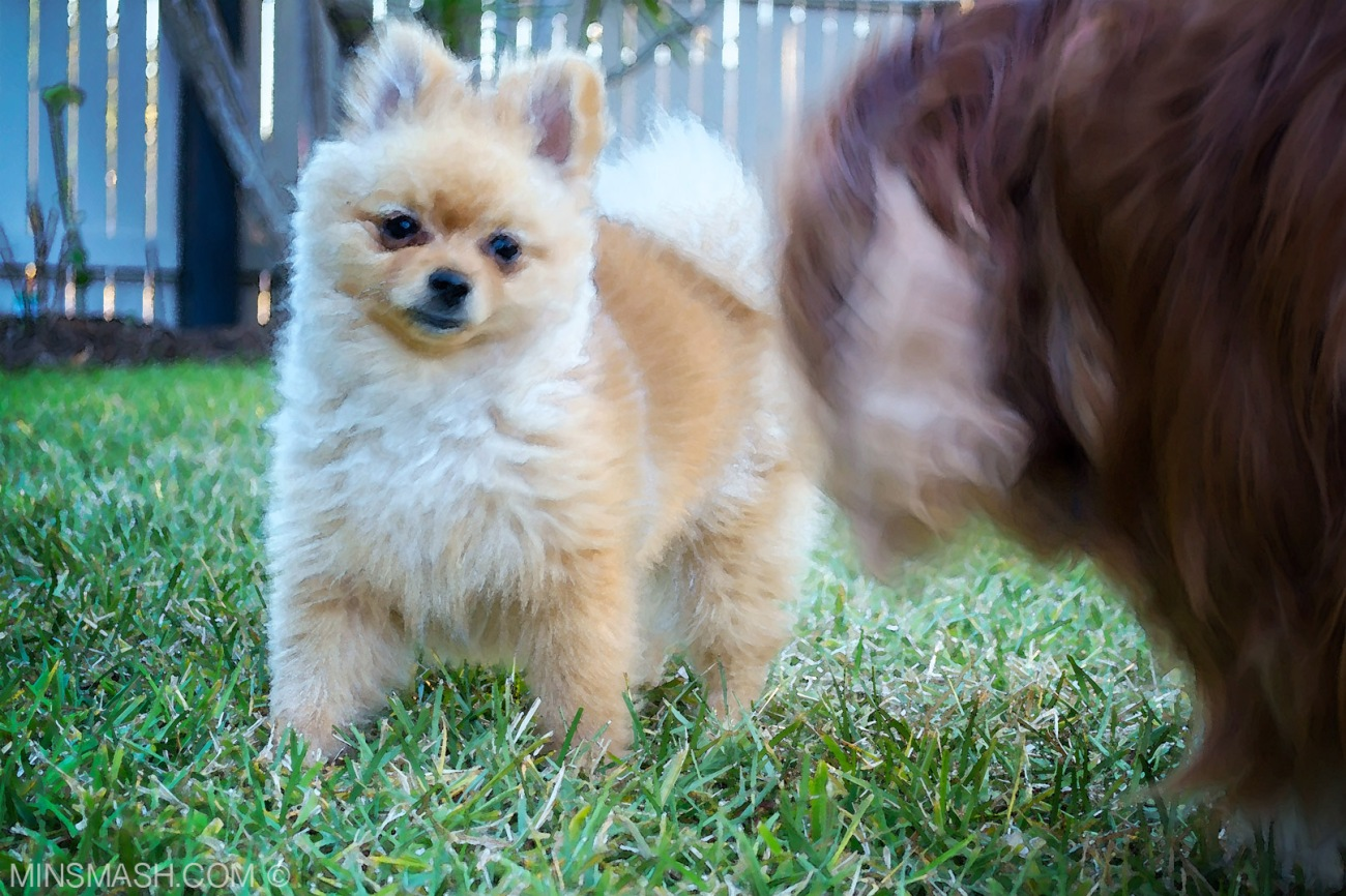 Baci the Pomeranian