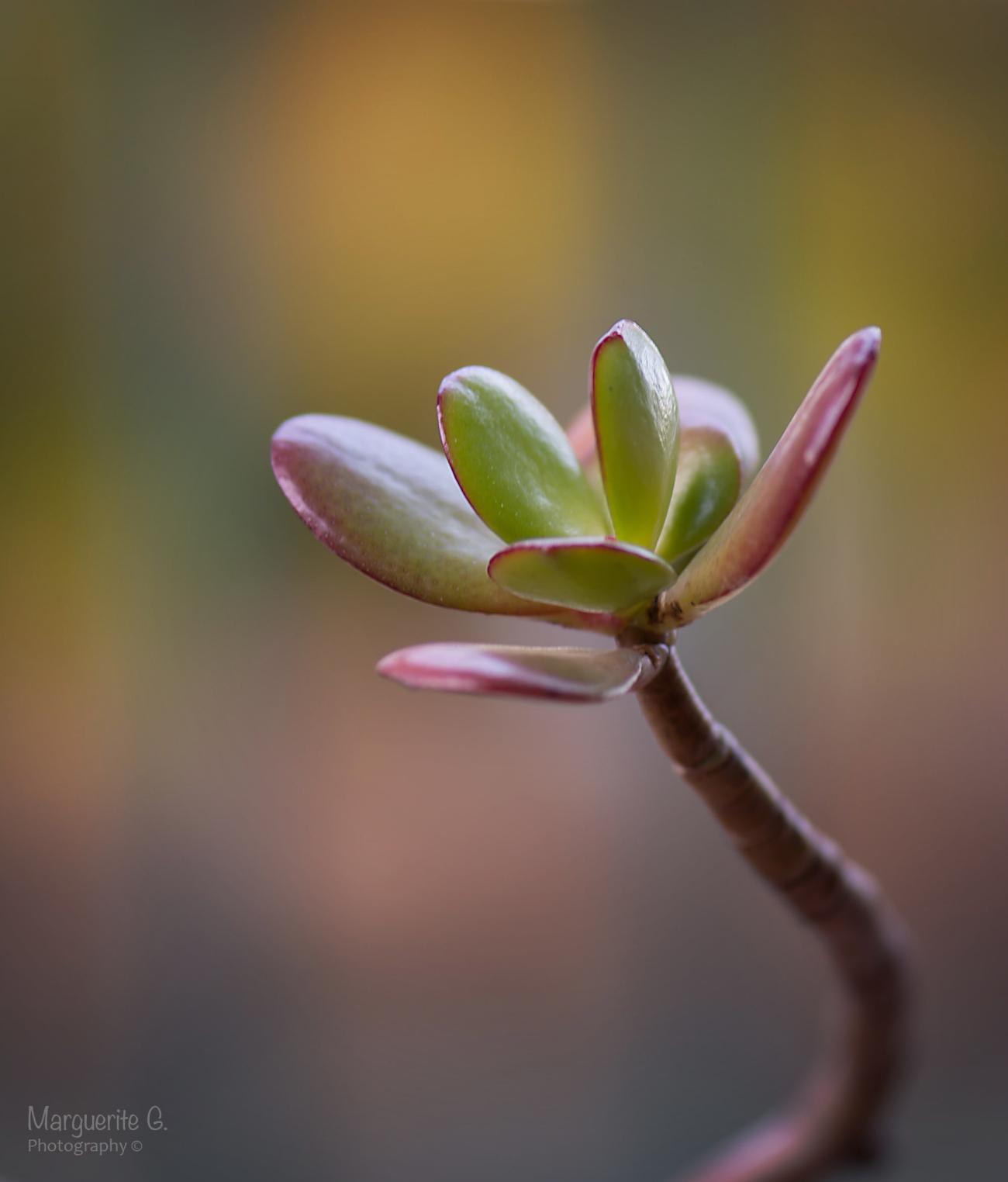Succulent Macro