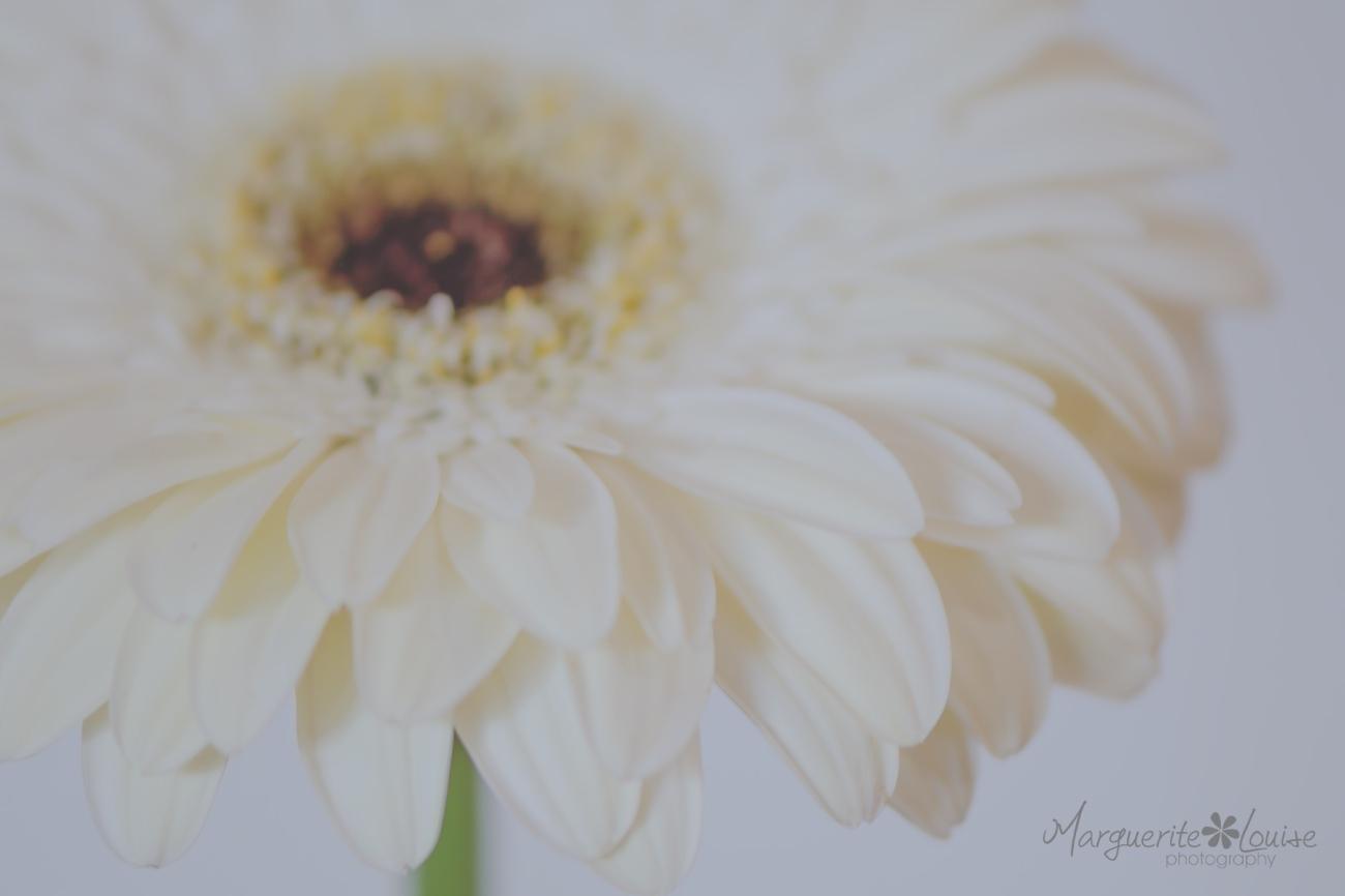 Gerbera, Flower