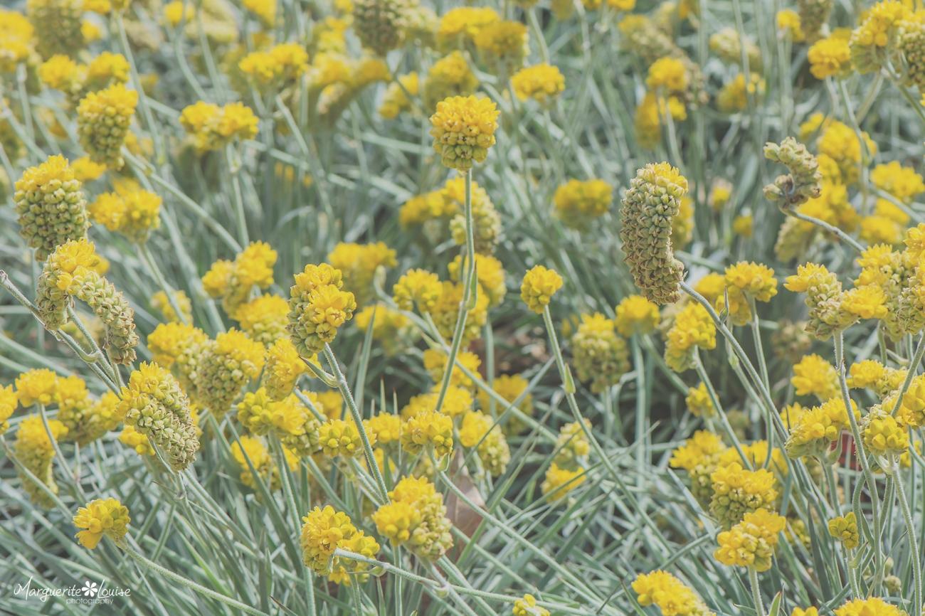 Yellow Puffs of Cheer