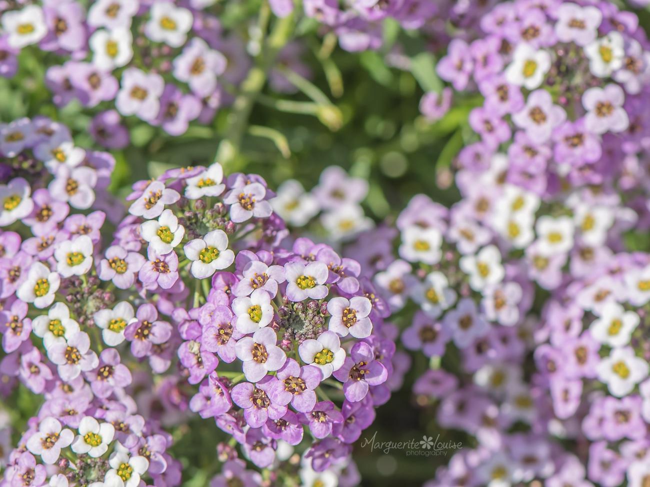 Lavender & White Flowers